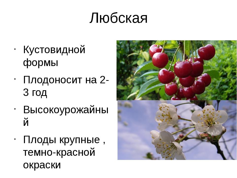 Любская Кустовидной формы Плодоносит на 2-3 год Высокоурожайный Плоды крупные...