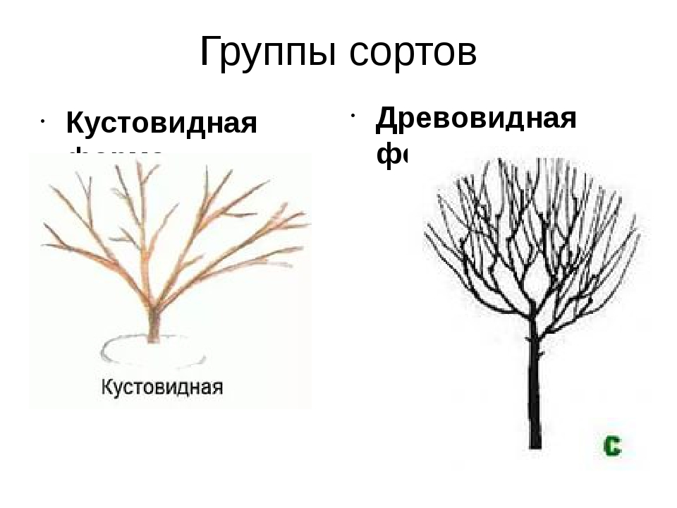 Группы сортов Кустовидная форма Древовидная форма