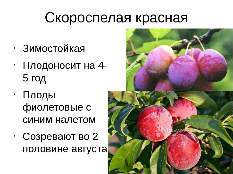 Скороспелая красная Зимостойкая Плодоносит на 4-5 год Плоды фиолетовые с сини...