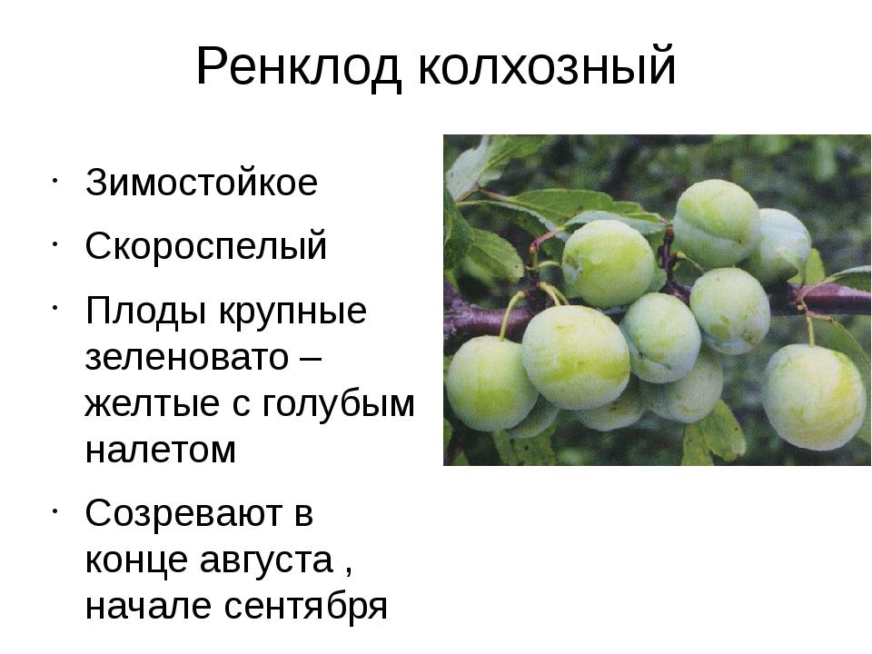 Ренклод колхозный Зимостойкое Скороспелый Плоды крупные зеленовато – желтые с...