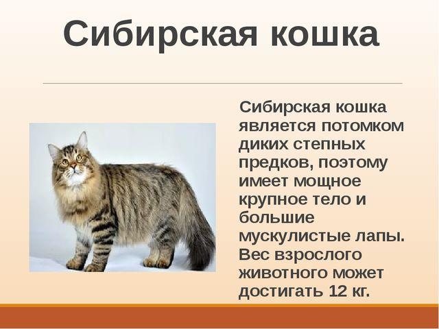 Сибирская кошка Сибирская кошка является потомком диких степных предков, поэт...