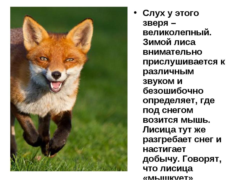 Слух у этого зверя – великолепный. Зимой лиса внимательно прислушивается к ра...