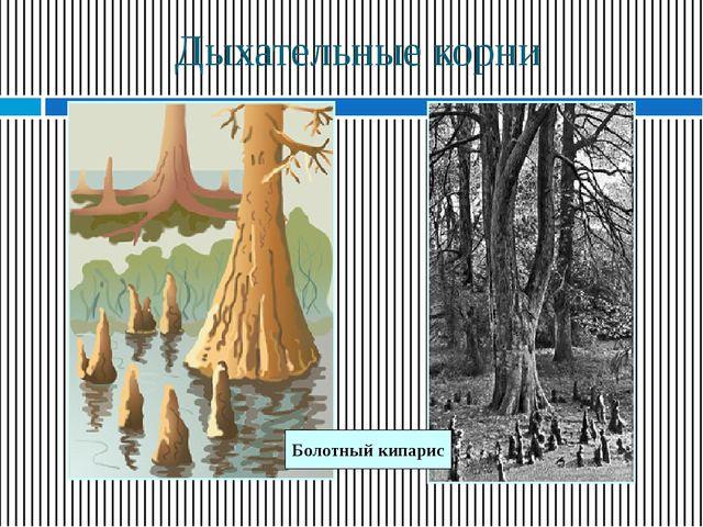 Дыхательные корни Болотный кипарис