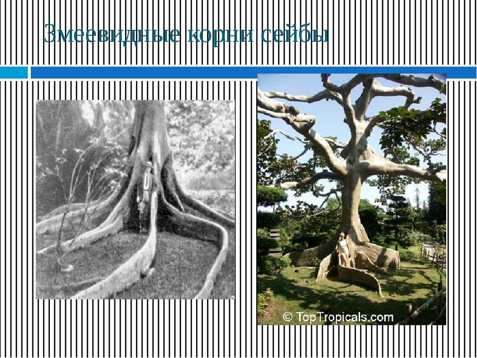 Змеевидные корни сейбы