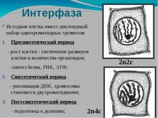 Интерфаза Исходная клетка имеет диплоидный набор однохроматидных хромосом Пре