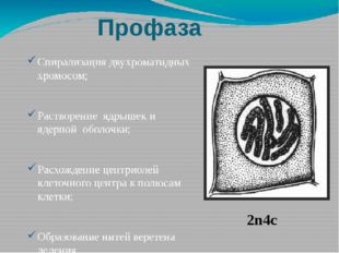 Профаза Спирализация двухроматидных хромосом; Растворение ядрышек и ядерной о