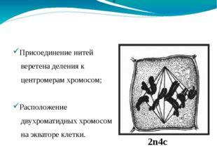 Метафаза 2n4c Присоединение нитей веретена деления к центромерам хромосом; Ра