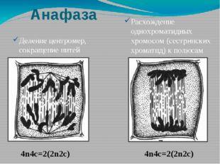 Анафаза Деление центромер, сокращение нитей веретена деления Расхождение одно