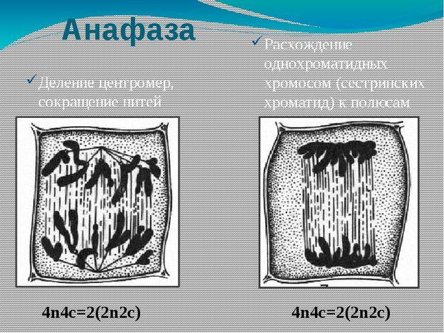 Анафаза Деление центромер, сокращение нитей веретена деления Расхождение одно...