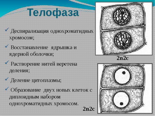 Телофаза Деспирализация однохроматидных хромосом; Восстанавление ядрышка и яд...