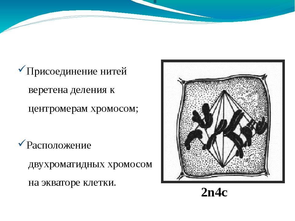 Метафаза 2n4c Присоединение нитей веретена деления к центромерам хромосом; Ра...