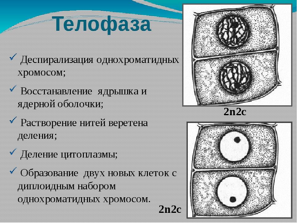 деспирализация хромосом при делении клетки происходит в разобраться
