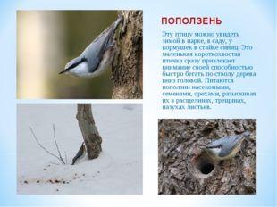 ПОПОЛЗЕНЬ Эту птицу можно увидеть зимой в парке, в саду, у кормушек в стайке