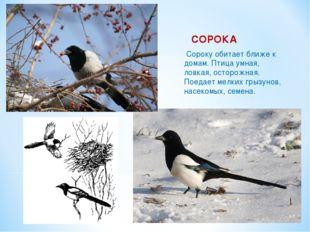 СОРОКА Сороку обитает ближе к домам. Птица умная, ловкая, осторожная. Поедает