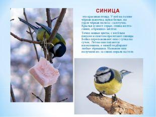 СИНИЦА это красивая птица. У неё на голове чёрная шапочка, щёки белые, на гор