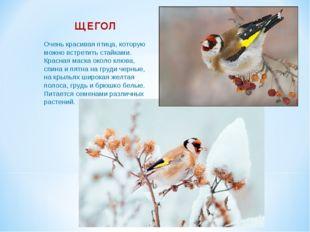 ЩЕГОЛ Очень красивая птица, которую можно встретить стайками. Красная маска о