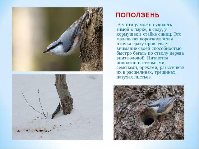 ПОПОЛЗЕНЬ Эту птицу можно увидеть зимой в парке, в саду, у кормушек в стайке...