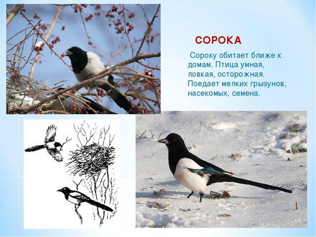 СОРОКА Сороку обитает ближе к домам. Птица умная, ловкая, осторожная. Поедает...