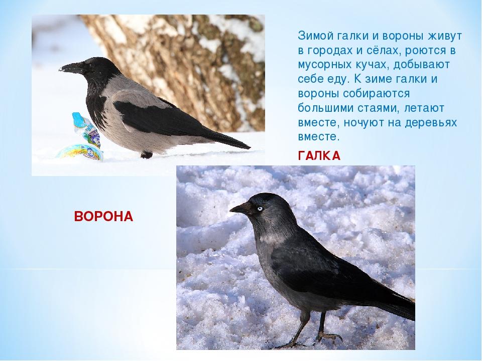 ВОРОНА Зимой галки и вороны живут в городах и сёлах, роются в мусорных кучах...