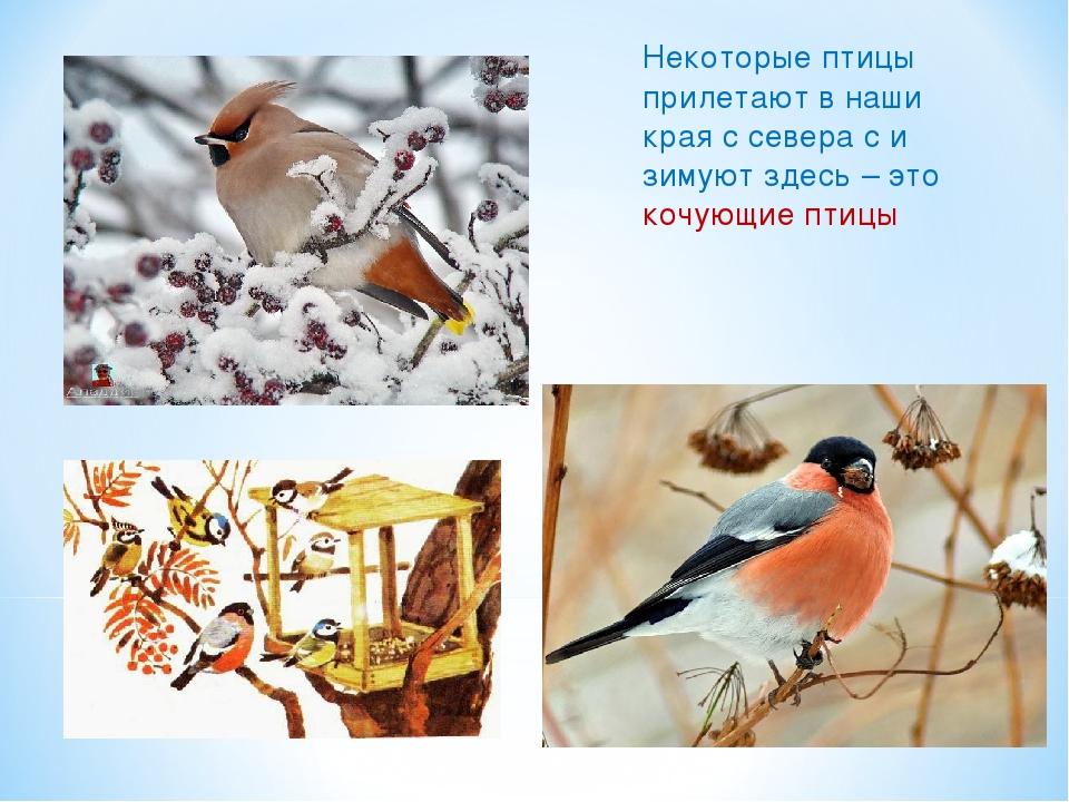 Некоторые птицы прилетают в наши края с севера с и зимуют здесь – это кочующи...