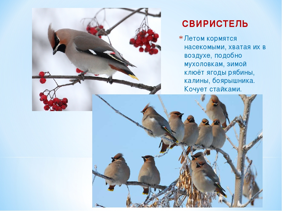 СВИРИСТЕЛЬ Летом кормятся насекомыми, хватая их в воздухе, подобно мухоловкам...