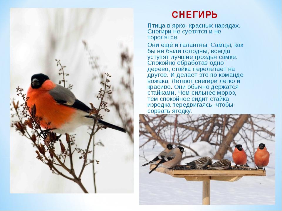 СНЕГИРЬ Птица в ярко- красных нарядах. Снегири не суетятся и не торопятся. Он...