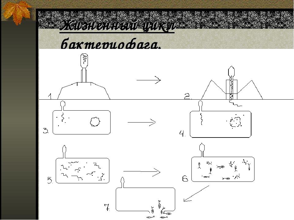 Жизненный цикл бактериофага.