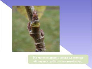 На месте опавшего листа на веточке образуется рубец — листовой след.