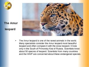 The Amur leopard The Amur leopard is one of the rarest animals in the world.