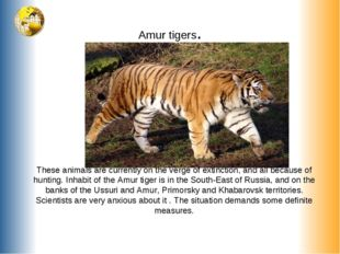 Amur tigers. These animals are currently on the verge of extinction, and all