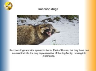 Raccoon dogs Raccoon dogs are wide spread in the far East of Russia, but they