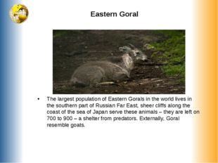 Eastern Goral The largest population of Eastern Gorals in the world lives