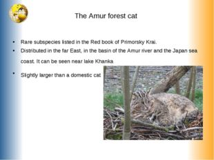 The Amur forest cat Rare subspecies listed in the Red book of Primorsky Krai.