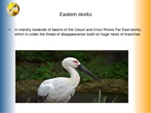 Eastern storks In marshy lowlands of basins of the Ussuri and Amur Rivers Far