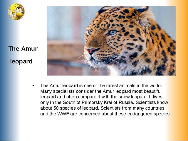 The Amur leopard The Amur leopard is one of the rarest animals in the world....