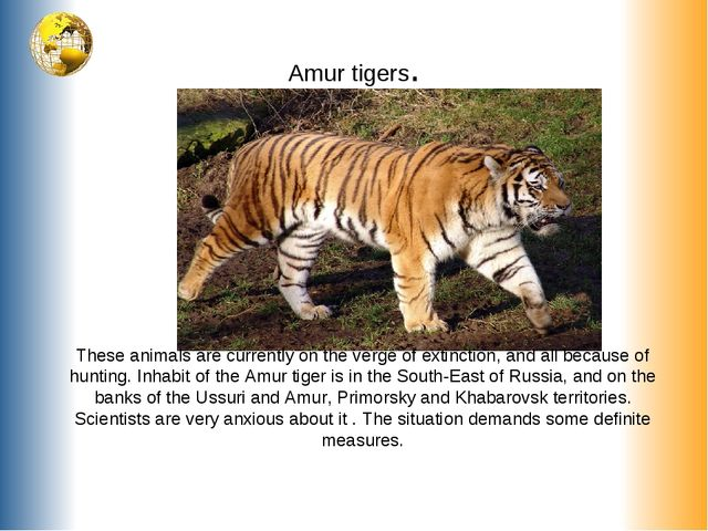 Amur tigers. These animals are currently on the verge of extinction, and all...