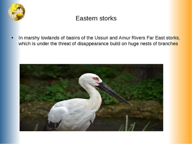 Eastern storks In marshy lowlands of basins of the Ussuri and Amur Rivers Far...