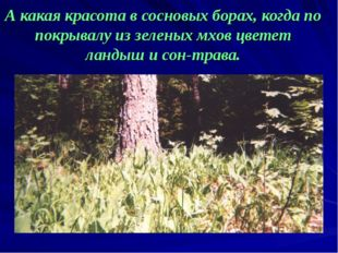 А какая красота в сосновых борах, когда по покрывалу из зеленых мхов цветет л