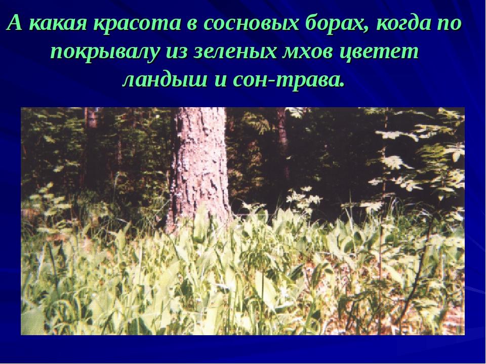 А какая красота в сосновых борах, когда по покрывалу из зеленых мхов цветет л...