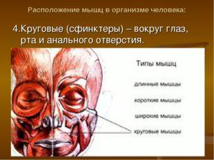 Расположение мышц в организме человека: 4.Круговые (сфинктеры) – вокруг глаз,