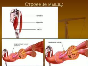 Строение мышц: