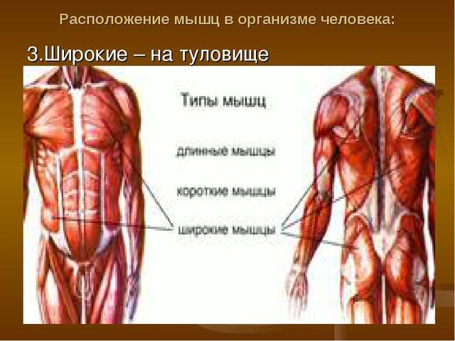 Расположение мышц в организме человека: 3.Широкие – на туловище