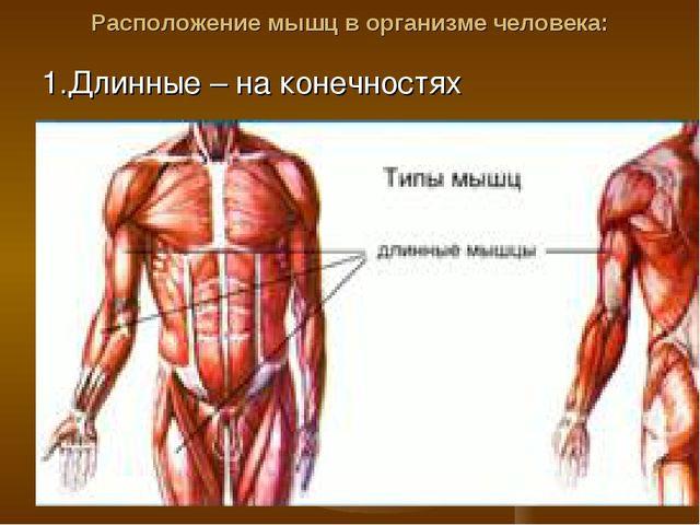 Расположение мышц в организме человека: 1.Длинные – на конечностях