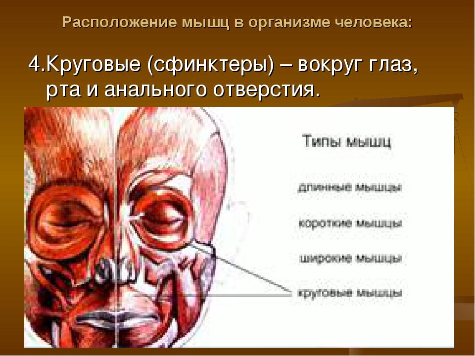 Расположение мышц в организме человека: 4.Круговые (сфинктеры) – вокруг глаз,...