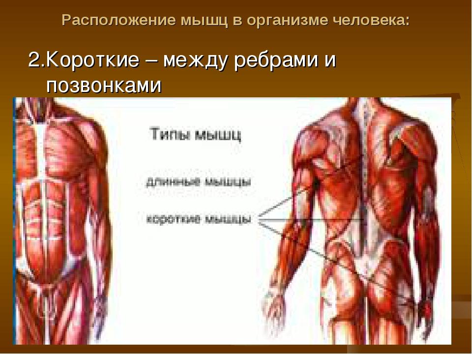 Расположение мышц в организме человека: 2.Короткие – между ребрами и позвонками