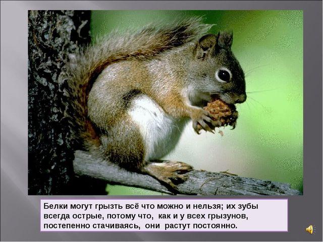 Белки могут грызть всё что можно и нельзя; их зубы всегда острые, потому что,...