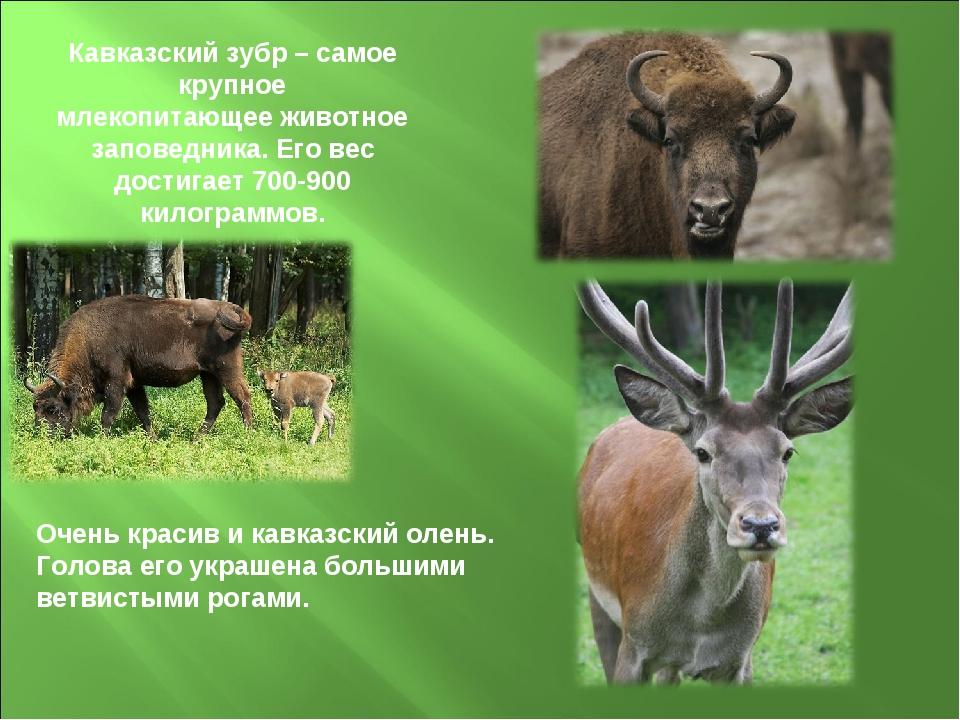 Кавказский зубр – самое крупное млекопитающее животное заповедника. Его вес д...