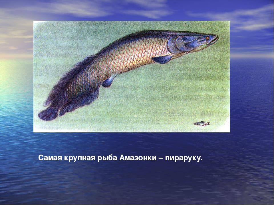 Самая крупная рыба Амазонки – пираруку.