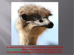 Птица высотой около двух метров, австралийский страус Эму. Живет большими ста