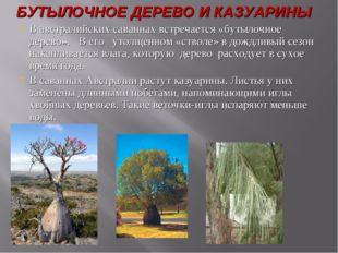 В австралийских саваннах встречается «бутылочное дерево». В его утолщенном «с